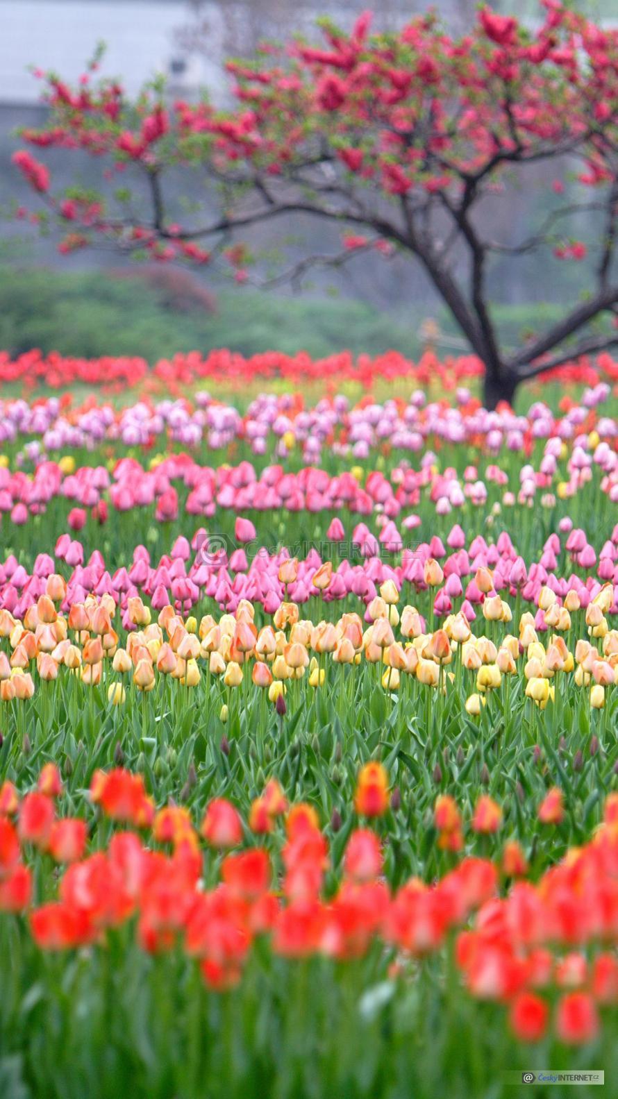 Rozkvetlé tulipány.