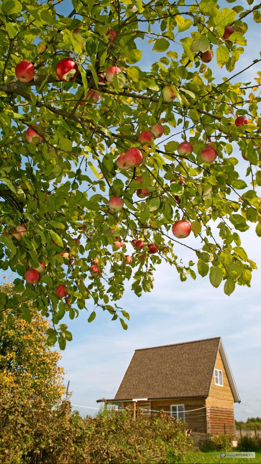 Jabloň se zrajícími plody - detail.