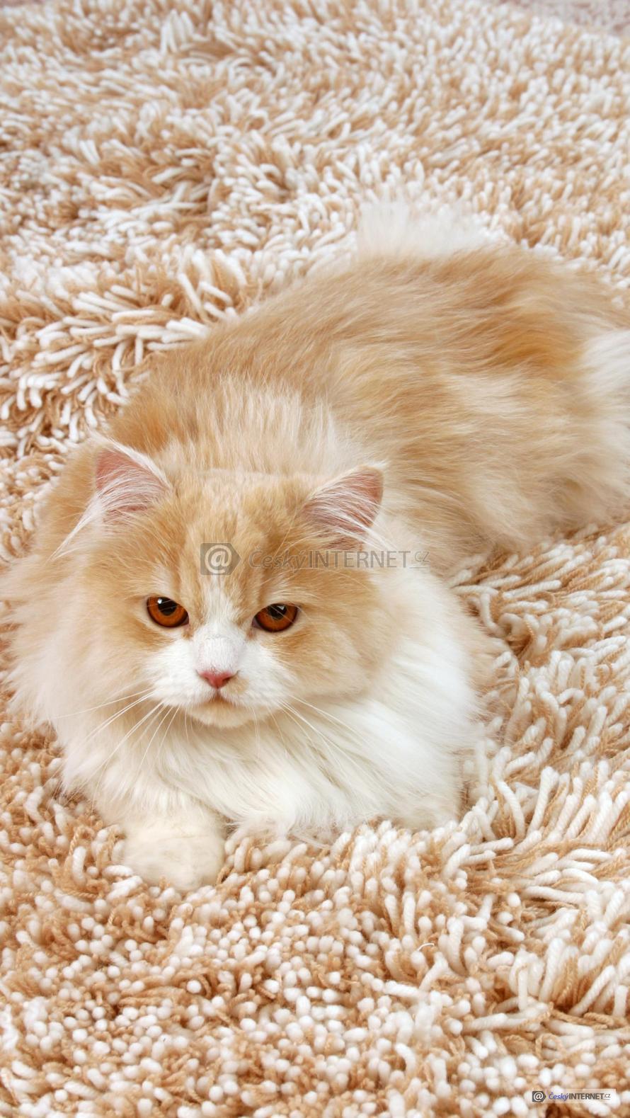 Kočka na celoplošném koberci.