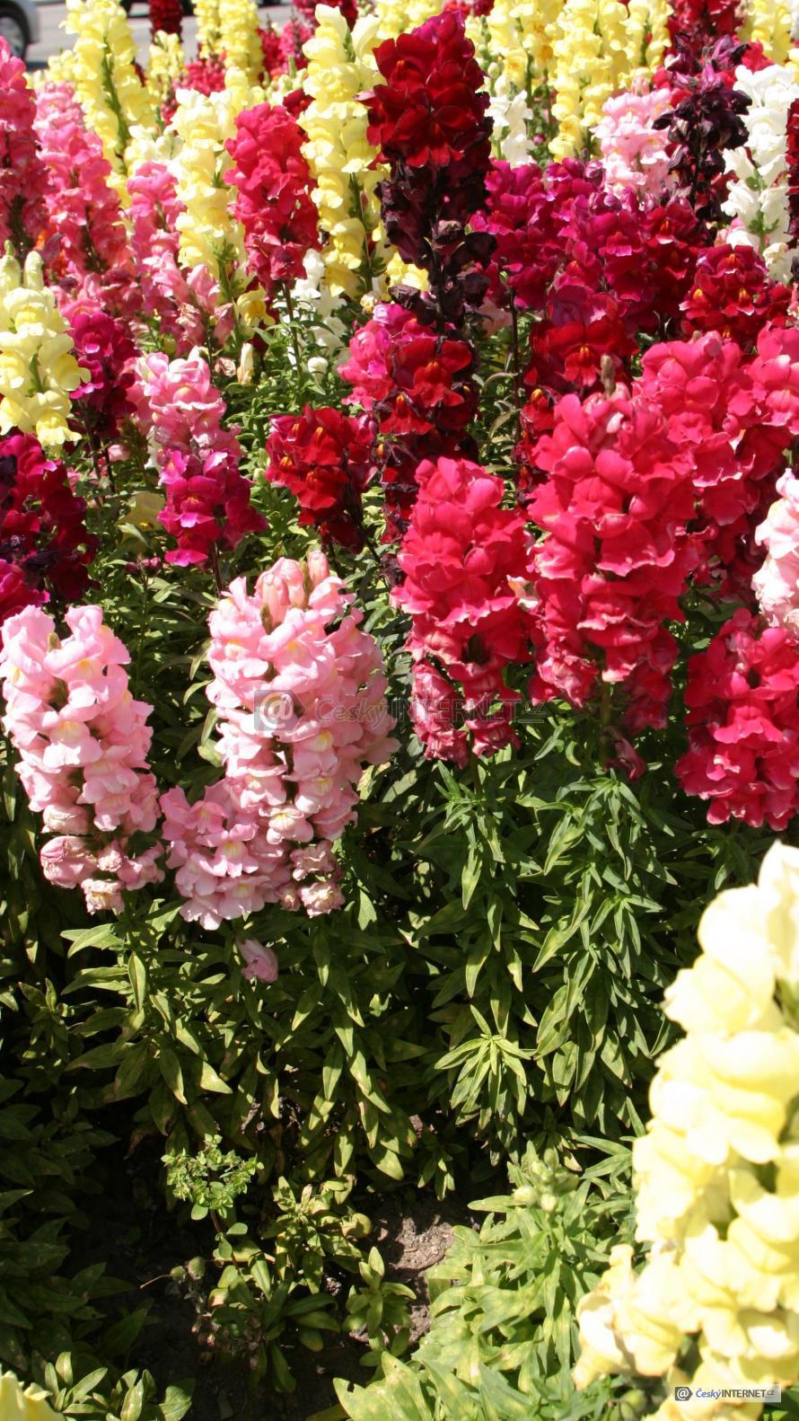 Rozkvetlé okrasné květiny.