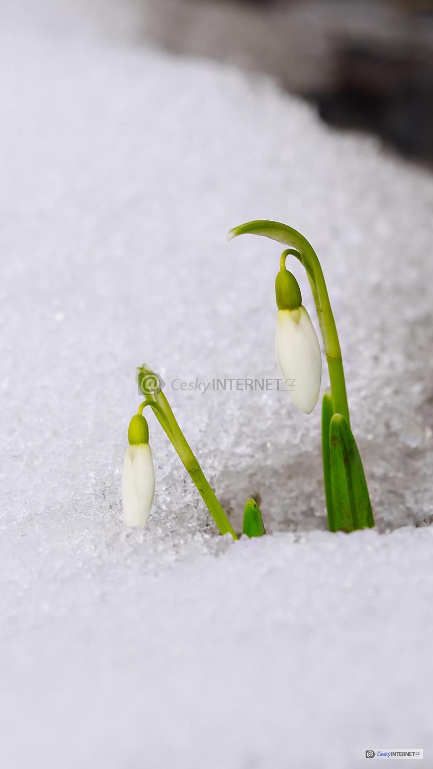 Sněženky prorážející skrz sníh.