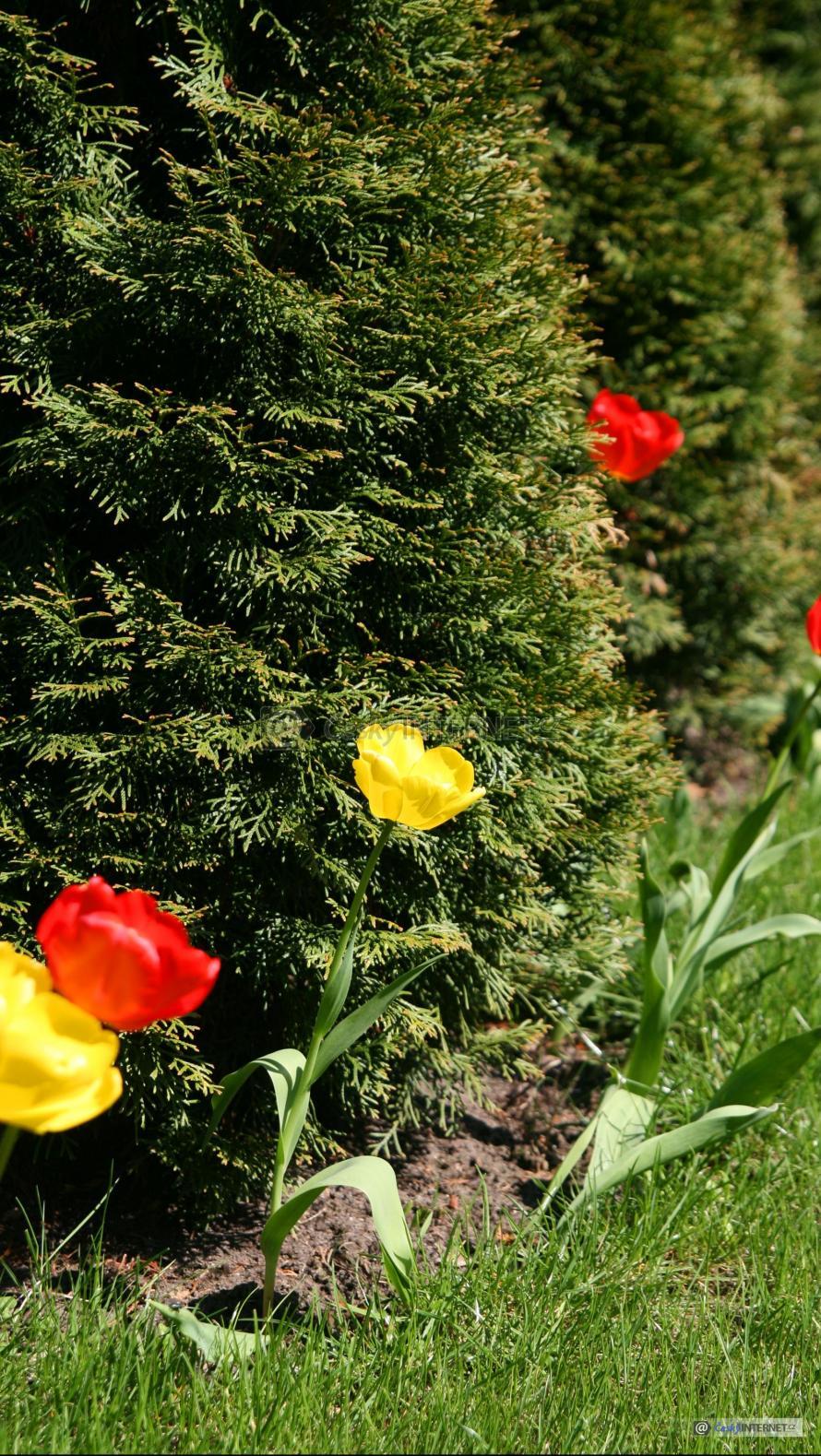 Detail zahrady s tulipány a zeravy.