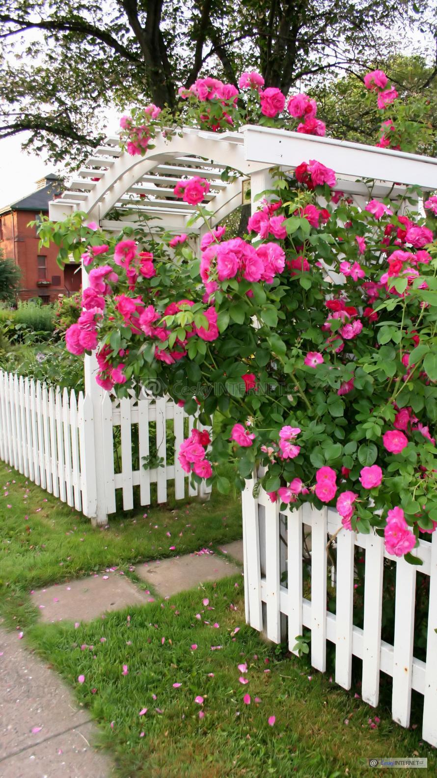 Rozkvetlé růže kolem dřevěného plotu a brány.