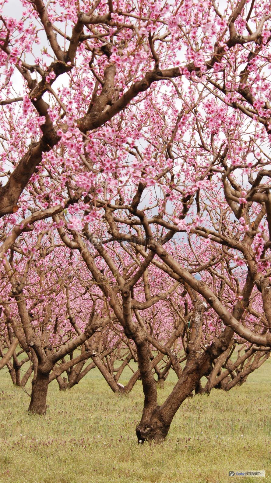 Kvetoucí ovocné stromy.
