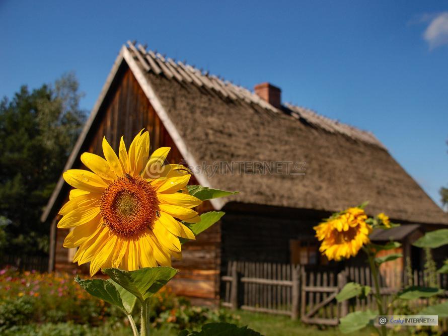 Slunečnice, v pozadí původní roubený dům.