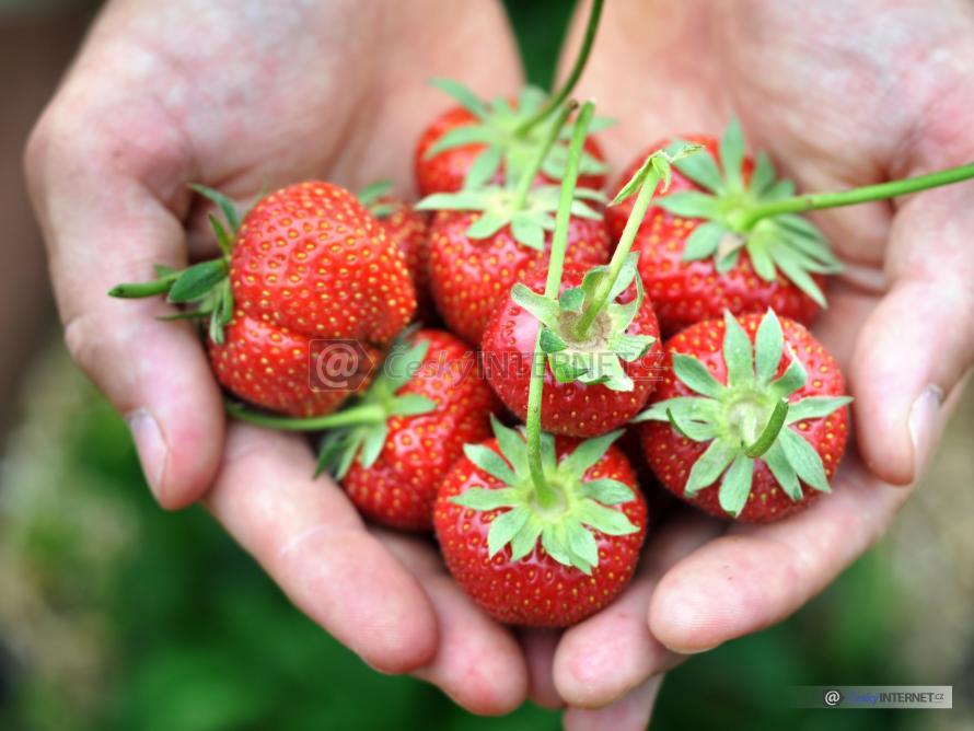 Plody jahod v dlani.