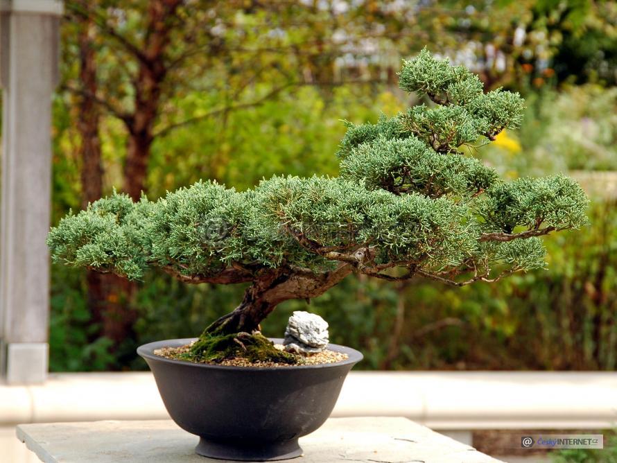 Japonská bonsai.