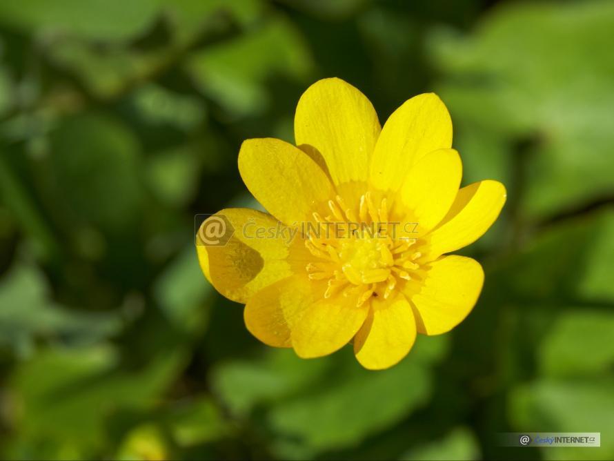 Květ blatouchu - detail.