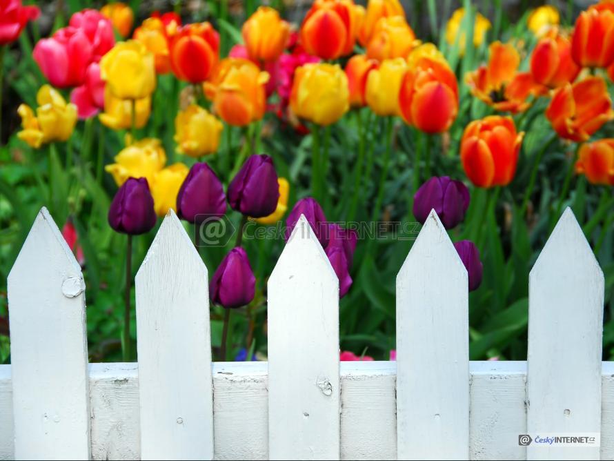 Rozkvetlé tulipány za dřevěným plotem.