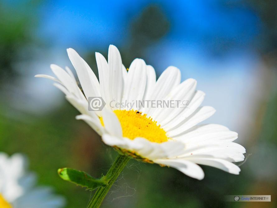 Detail květu sedmikrásky.