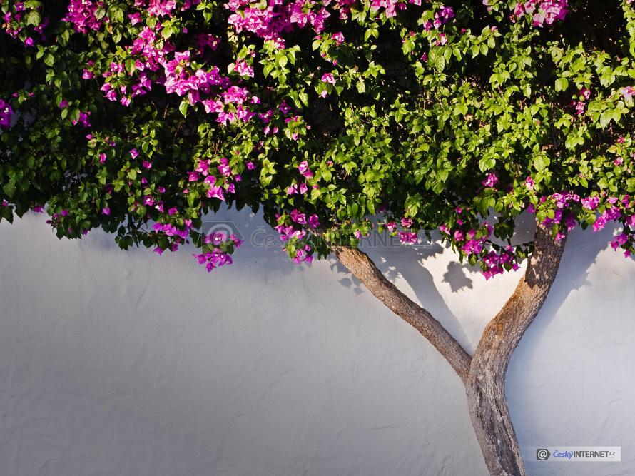 Kvetoucí okrasná dřevina u zdi.