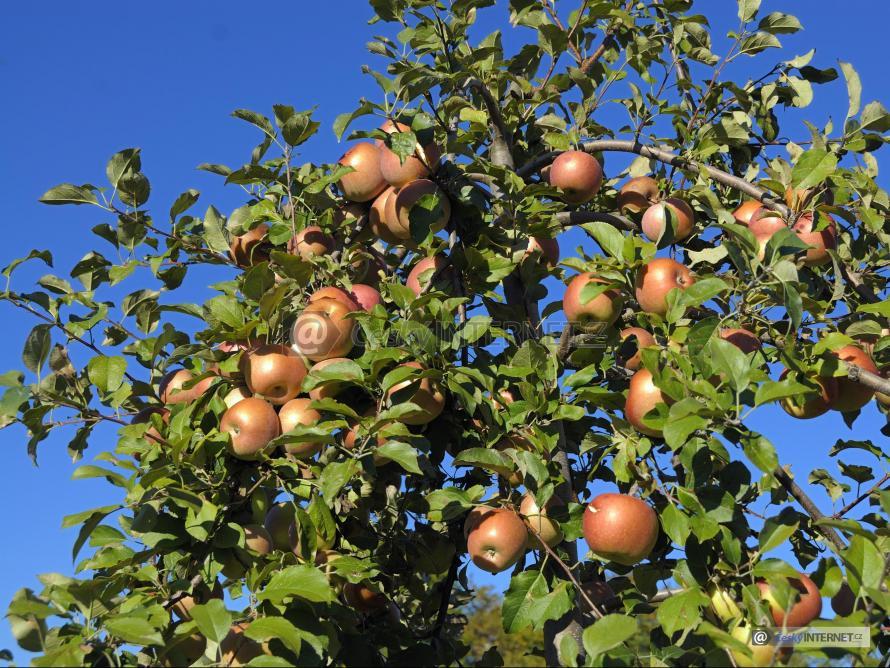 Jabloň se zrajícími plody.