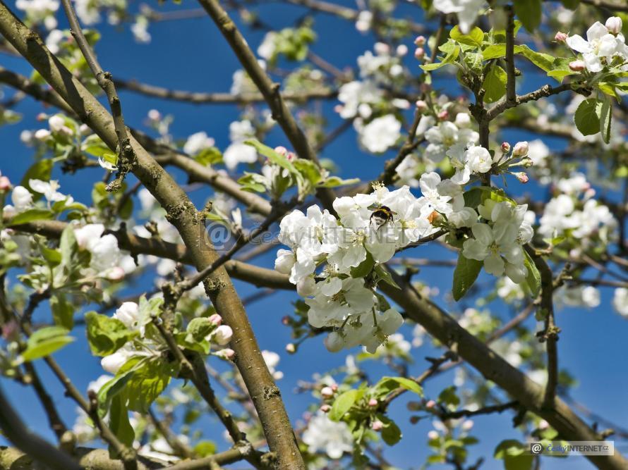 Detail květů jabloně.