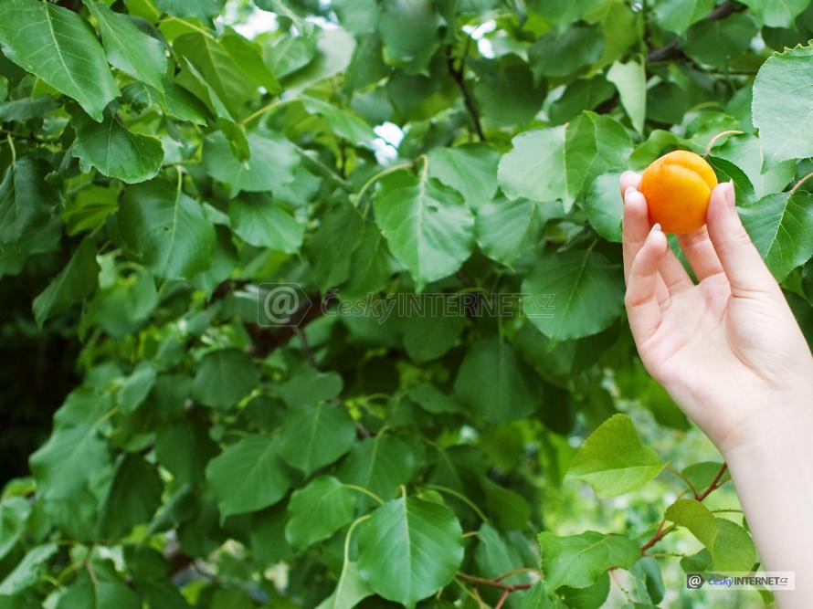 Utržená meruňka v ruce.