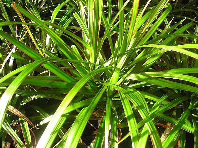 Dracaena marginata pěstování nejznámější dracény