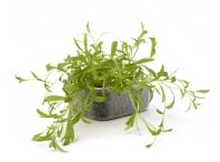 Rostlina | Artemisia dracunculus, Estragon