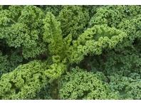 Rostlina | Brassica oleracea var. acephala, Kapusta kadeřavá