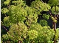 Rostlina | Angelica archangelica, Andělika lékařská