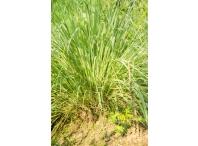 Rostlina | Cymbopogon citratus, Citronela
