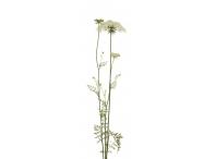 Rostlina | Myrrhis odorata, Čechřice vonná