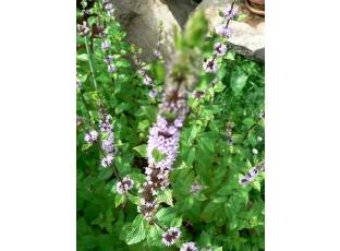 Rostlina | Máta peprná, Mentha piperita