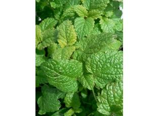 Rostlina | Meduňka, medovka,Sladký balzám,včelanka, Melissa officinalis