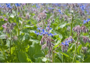 Rostlina | Brutnák, Borago officinalis