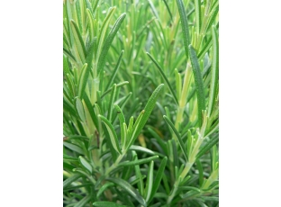 Rostlina | Rozmarýn, Rosmarinus officinalis