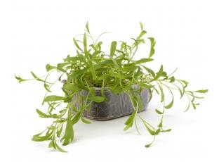 Rostlina | Estragon, Pelyněk - kozalec, Artemisia dracunculus