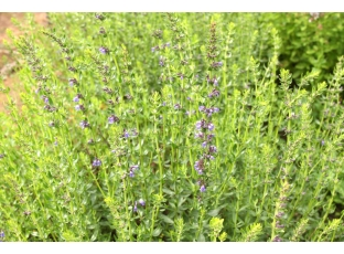 Rostlina | Yzop, Hyssopus officinalis