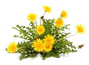 Rostlina | Pampeliška lékařská, Taraxacum officinale