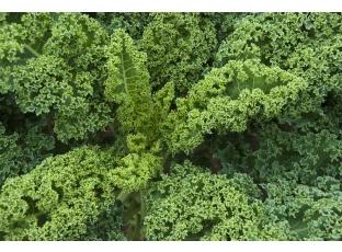 Rostlina | Kapusta kadeřavá, Jarmuz,Kadeřávek, Brassica oleracea var. acephala