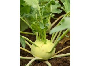 Rostlina | Kedlubna, Brassica oleracea L.conv. acephala DC. var. Gongyl