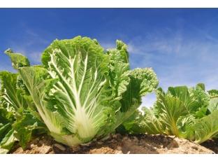 Rostlina | Pekingské zelí, Brassica rapa var. pekinensis