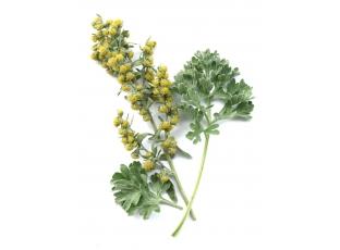 Rostlina | Pelyněk, Artemisia