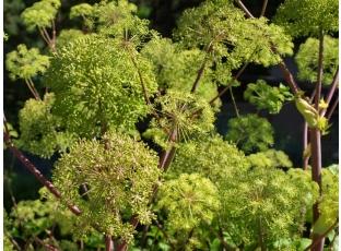 Rostlina | Andělika lékařská, Angelica archangelica