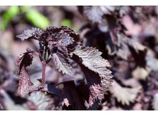 Rostlina | Perila křovitá, Perilla frutescens