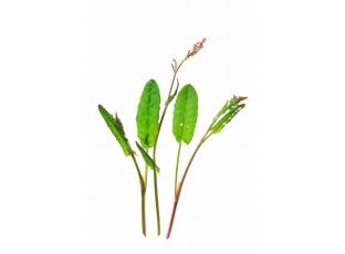 Rostlina | Šťovík kyselý, Rumex acetosa