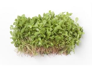 Rostlina | Šrucha zelená, Portulák, Portulaca oleracea