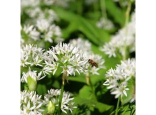 Rostlina | Medvědí česnek, Allium ursinum