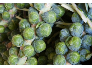 Rostlina | Řůžičková kapusta, Pupencová kapusta, Brassica oleracea L. conv. oleracea var. gemmifera