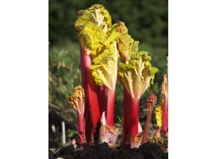Rostlina | Rebarbora, Reveň, Rheum rhabarbarum