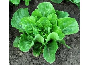 Salát pěstování